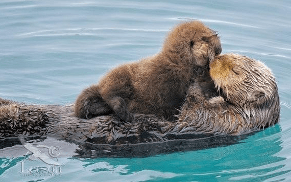 otter-mother-family-kisses