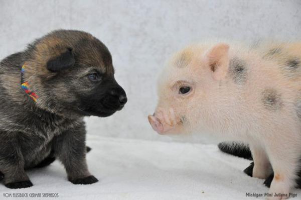 pigs-puppies-cute-friends-bffs