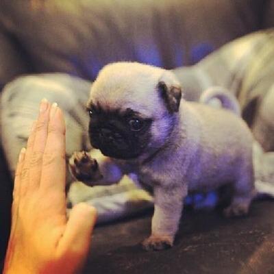 pug-puppy-high-five-animal-cute