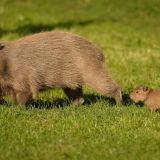 zooborns-capybra-mommy-and-baby-parenting-animals-cute