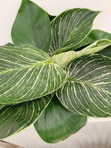 Philodendron white wave, deze wil jij ook hebben!