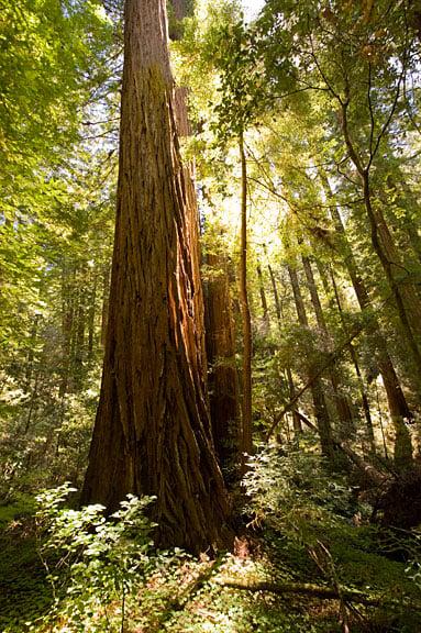 Santa Cruz Mountains OldGrowth Campaign  Save the Redwoods League