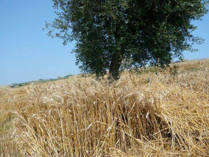 Wheat field of Marche