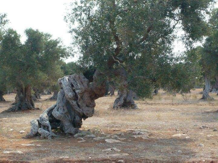 Field of olive trees in Apulia