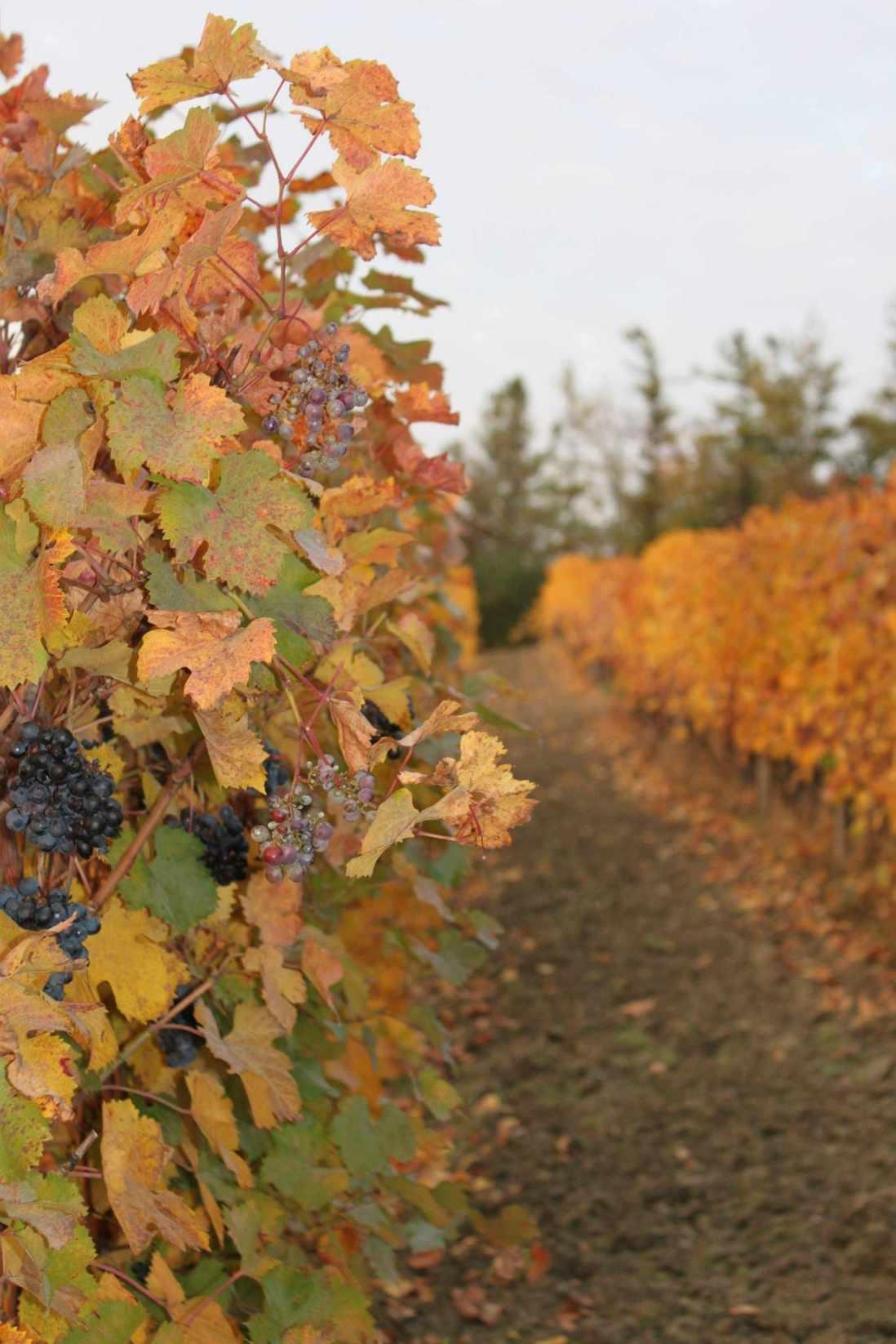 Vignoble de Poderi Colla en automne