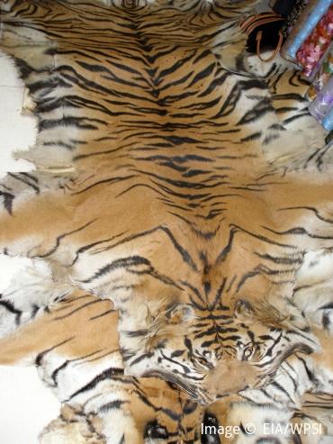 threats save wild tigers