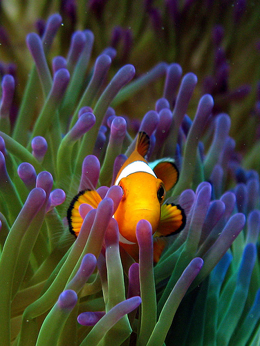 Clownfish Les poissons clowns sont hermaphrodites ?