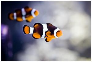 poisson clown1 300x201 Les poissons clowns sont hermaphrodites ?