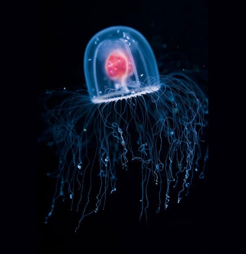immortal jellyfish La turritopsis nutricula (meduse) est biologiquement immortelle ?