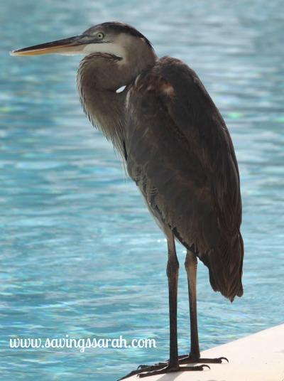 Heron as Lifeguard