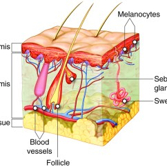 Integumentary System Diagram Labeled Sony Cdx Gt610ui Wiring Skin Pig Skeletal Muscle Anatomy Worksheet Of The