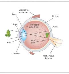the sensing eye and the perceiving visual cortex [ 1306 x 1245 Pixel ]