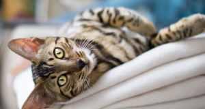 tigrasta mačka