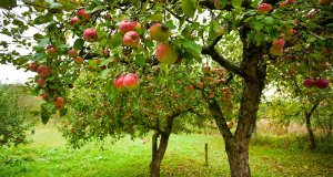 sadnja jabuka
