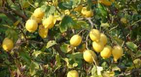 Za što je sve dobar limun