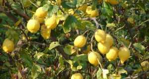 Ulje limuna