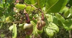 indijski oraščić ljekovitost