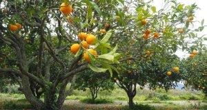 stablo naranče