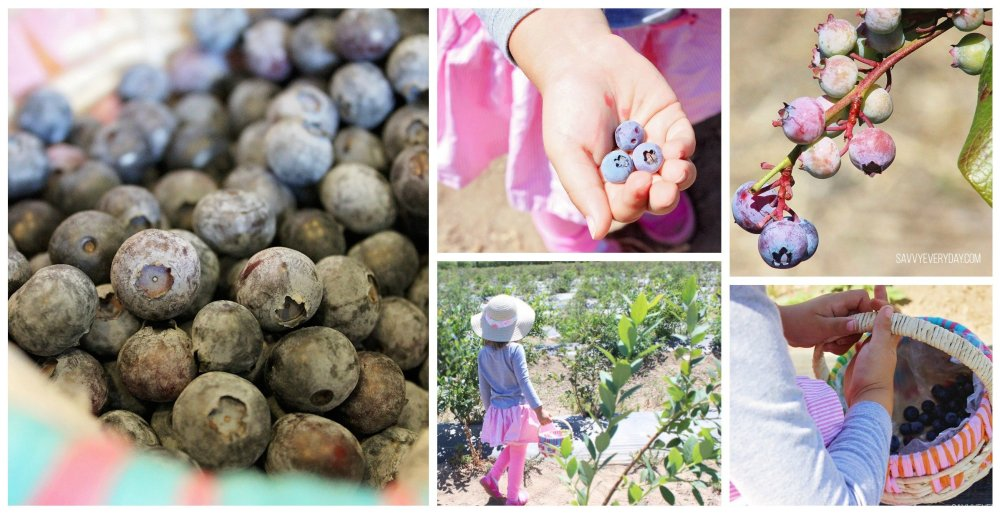 blueberry picking collage