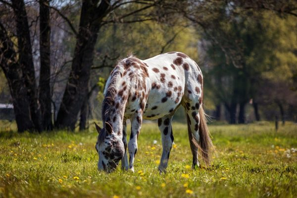 Appaloosa - Common Horse Breeds in America