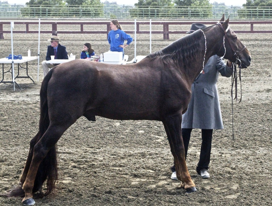 Tennessee Walker - Common Horse Breeds in America