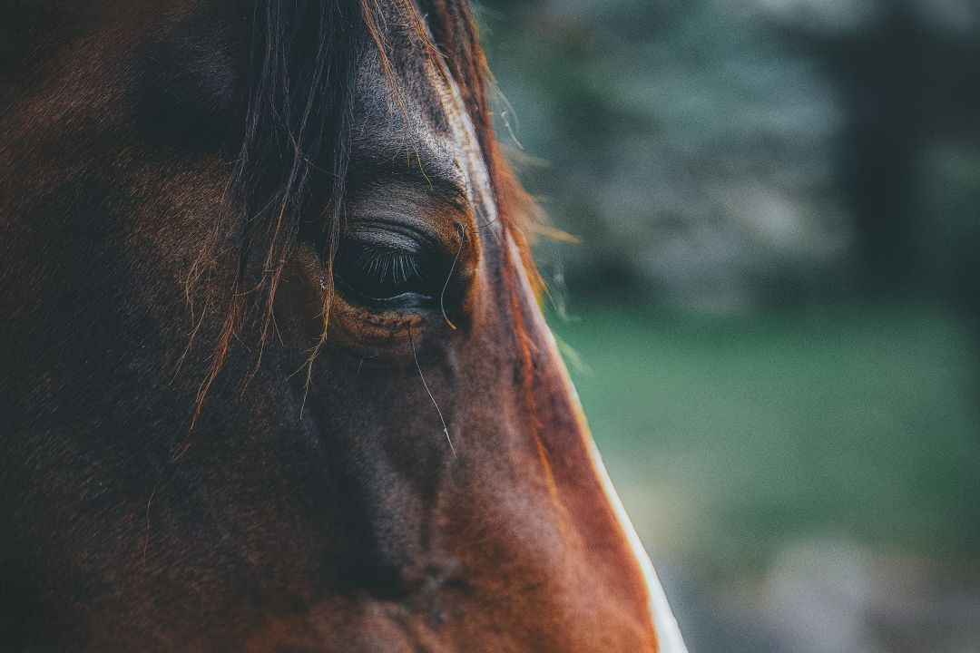 Horse Abuse - How to Rehabilitate an Abused Horse - Savvy Horsewoman