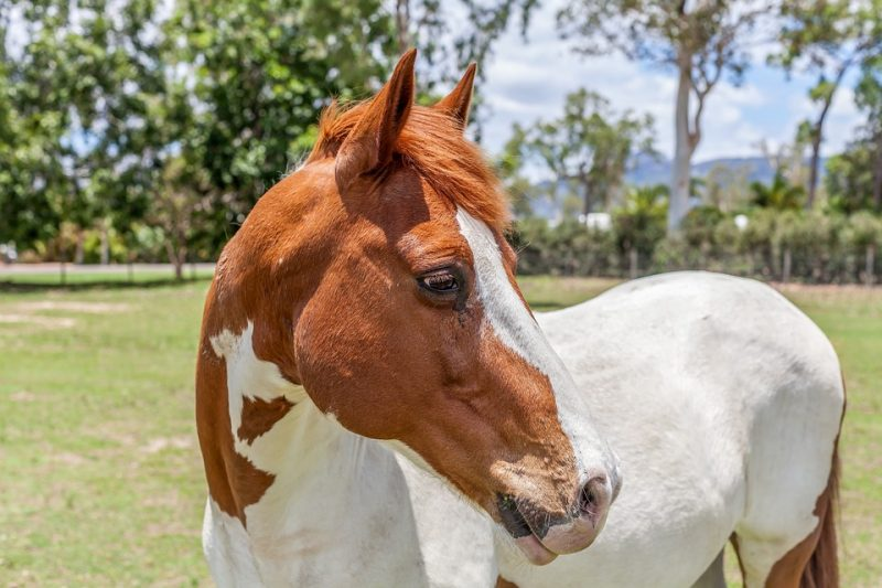 American Paint - Common Horse Breeds in America