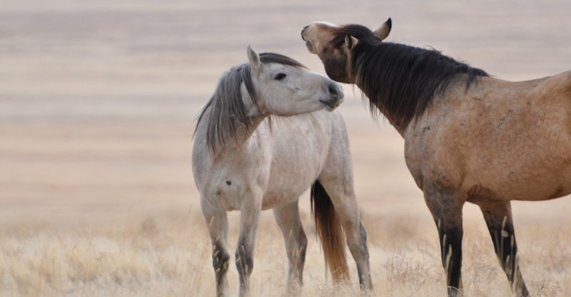 Mustang - Common Horse Breeds in America