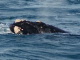 EBRWS | Image of the left side of the whale's head