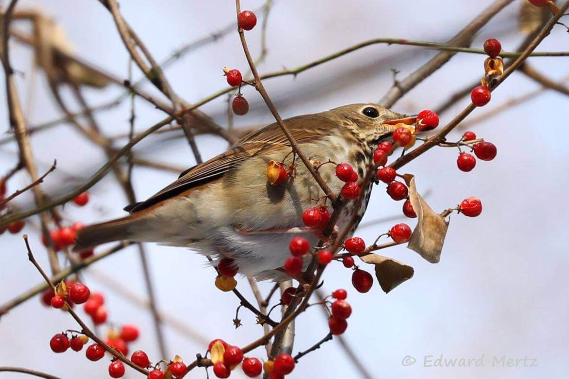 Hermit Thrush eating Bittersweet berries
