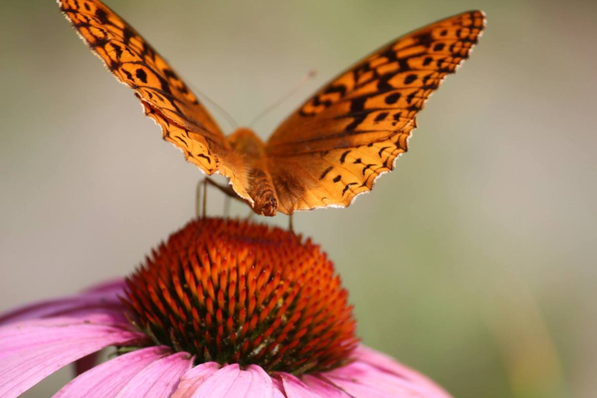 Native plants like this purple coneflower are necessary for the survival of native butterflies, like this great spangled fritillary. Plant native plants and help ensure the survival of native butterflies.