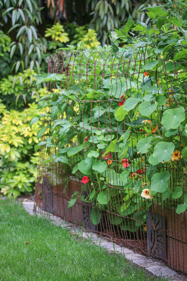 Vintage wire fence with tomatoes and nasturtium - Saw Nail and Paint