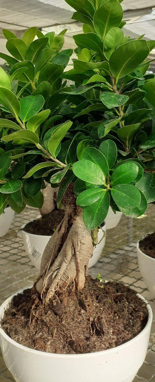 bonsai consegna a domicilio