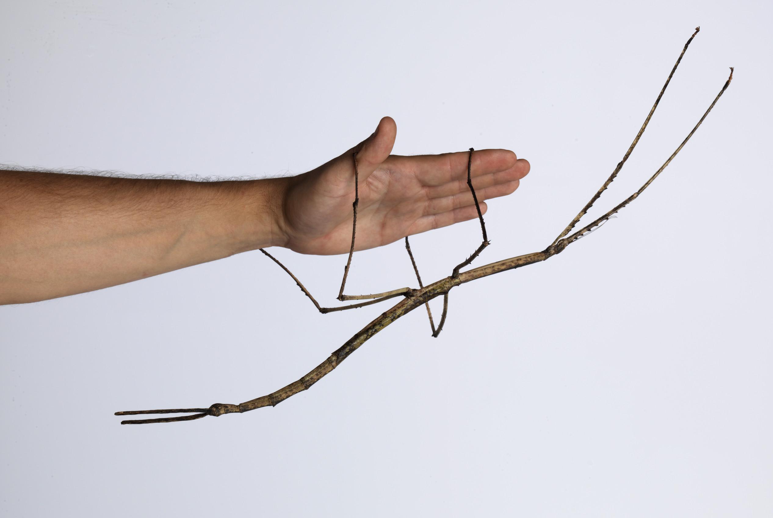 Gargantuan Aussie Stick Insect Has Babies In A World First