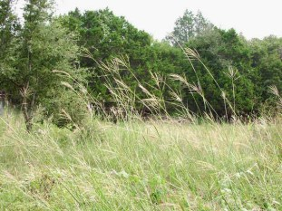 Image result for BOTHRIOCHLOA ISCHAEMUM AND NATIVE SPECIES