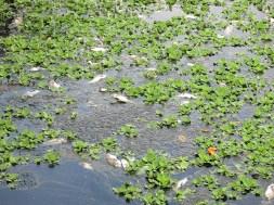 30.3.2017 Cá chết ở hồ Bàu Trảng – Anh 2