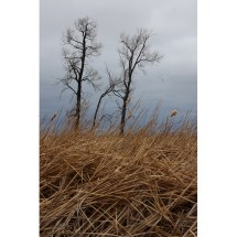 dead trees in field with flock of geese