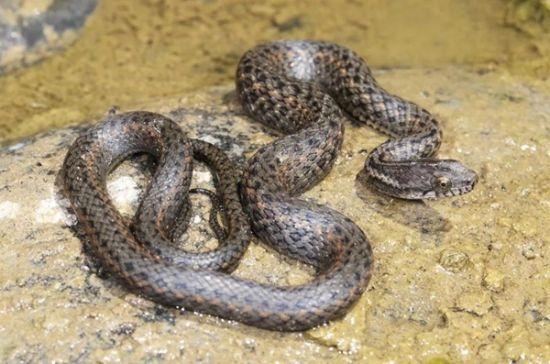四川學者發現東亞腹鏈蛇新品種—中國新聞網·四川新聞
