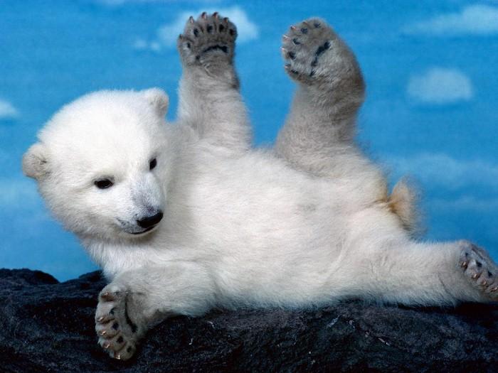 動物桌布 - 可愛北極熊