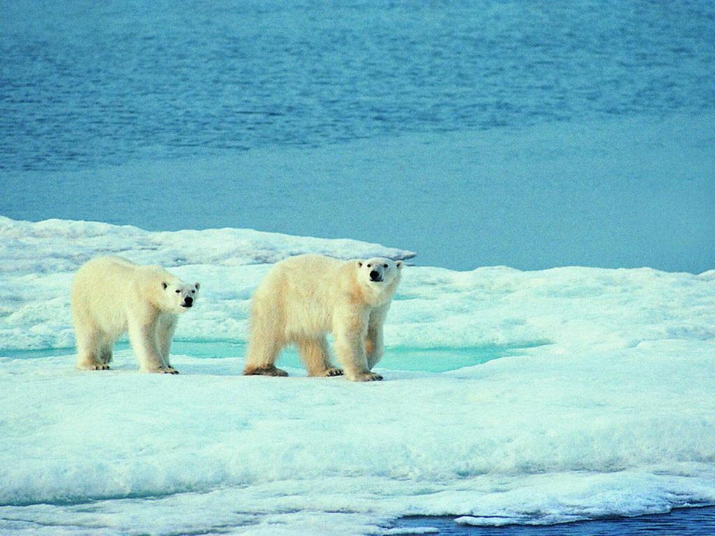 動物桌布下載 - 可愛北極熊
