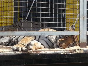 sleepy tigers