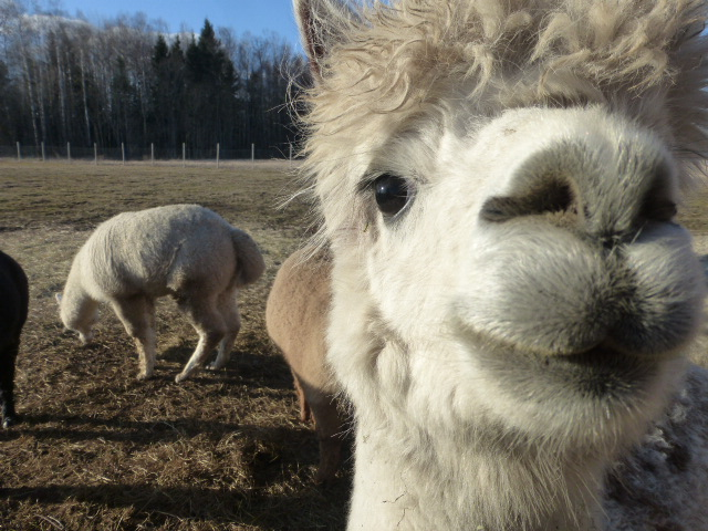 Alpacas in Estonia
