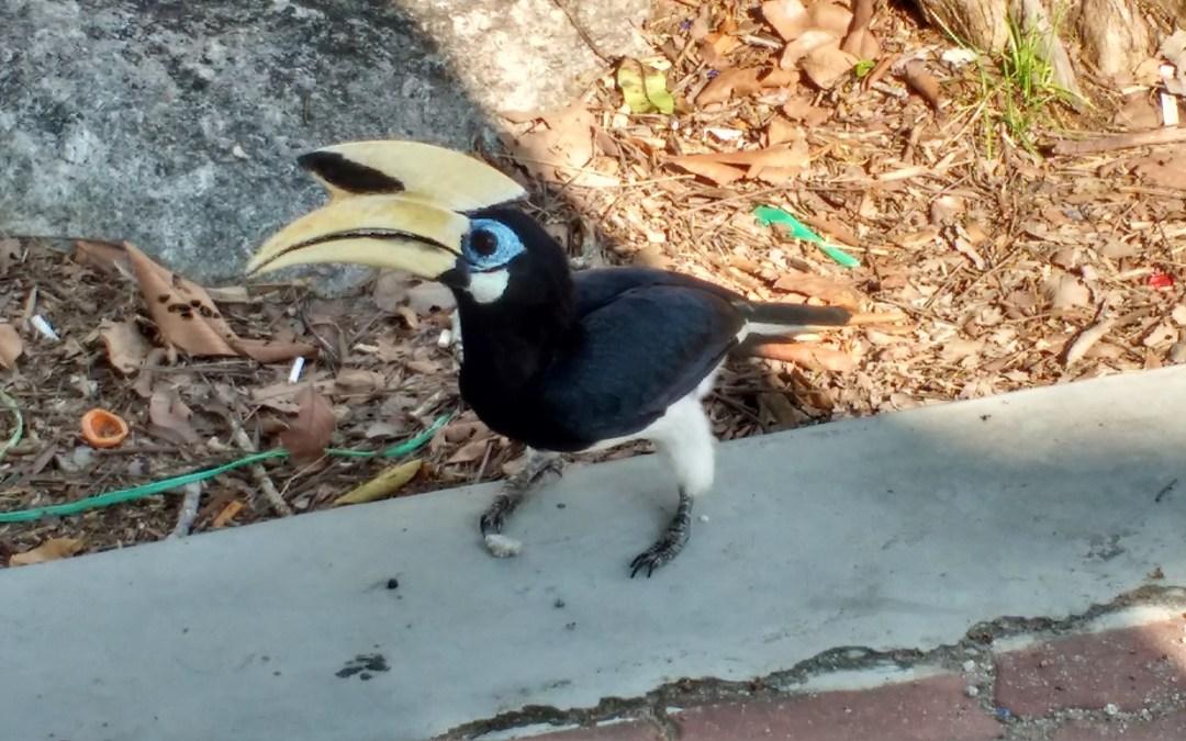 Hornbills in Malaysia