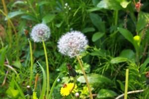 Tarassaco - La Scatola Nera - Blog letterario
