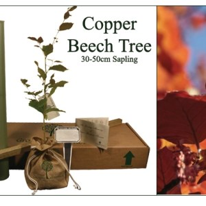 Copper beach  memorial tree for ashes