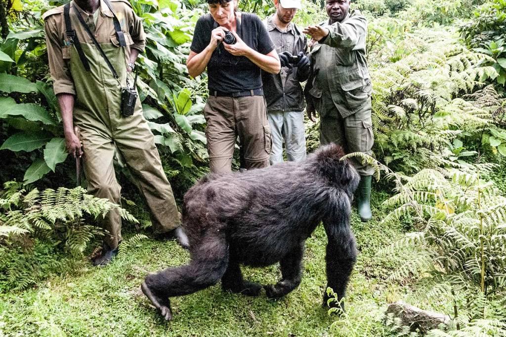 gorilla trekking up close