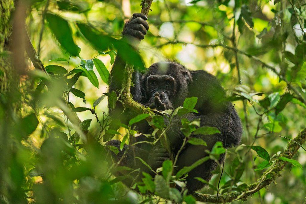 Kyambura Wildlife Reserve chimp tracking