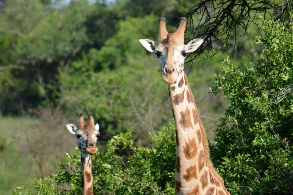 Lake Mburo National Park giraffe