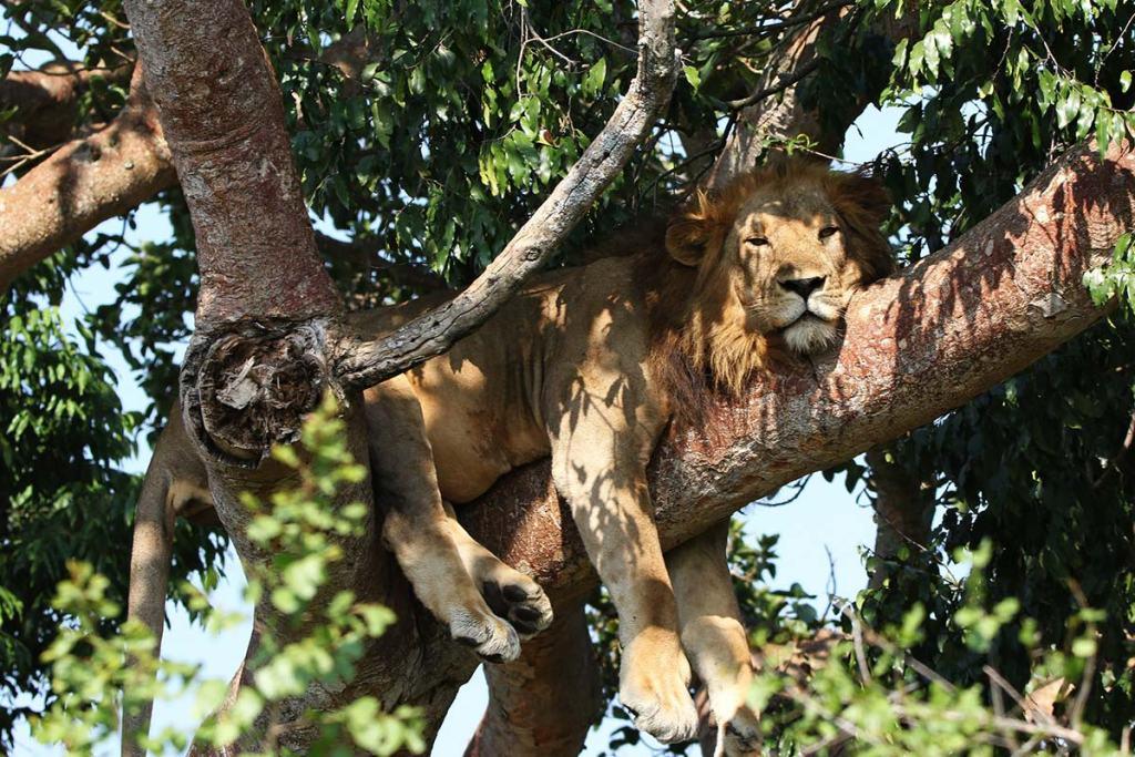 Big Five Game Drive Safaris in Uganda