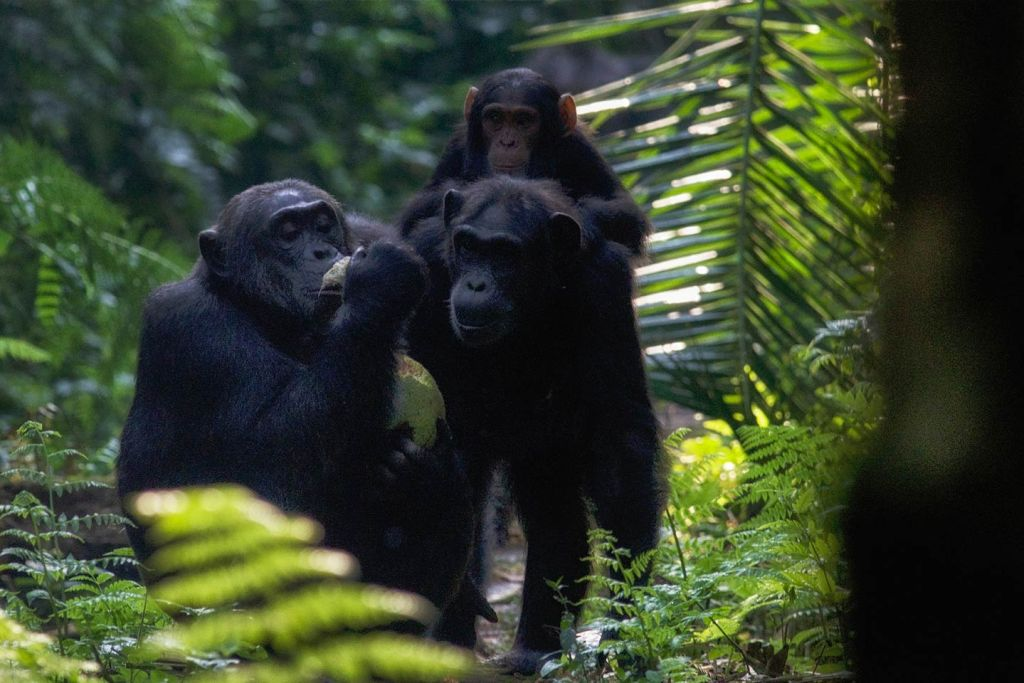 chimps with a kill